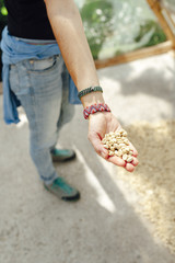 Hand of a woman showing dried coffee beans in a greenhouse