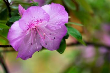 Wall Mural - Purple azalea flower