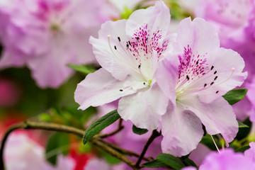 Wall Mural - Pink azalea flowers