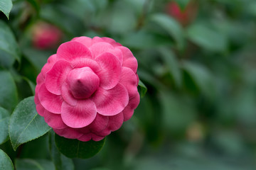 Wall Mural - Pink camellia blossom