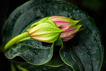 Wall Mural - Exotic flower bud