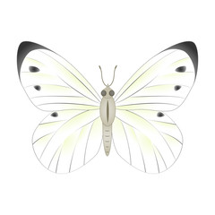 White  butterfly vector illustration isolated on white backgroun