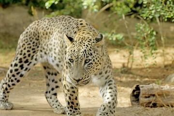 leopard walking in search of food
