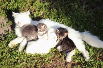 White cat with four kittens two gray kittens and two white. Cats on the grass.