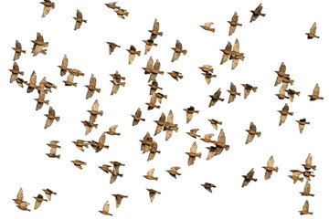 flock of starlings flying isolated on white background