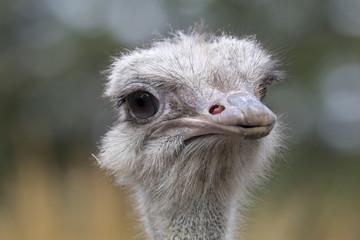 Common Ostrich portrait