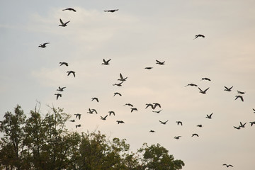 Birds flock in the evening sky. Pigeons flying above trees background.