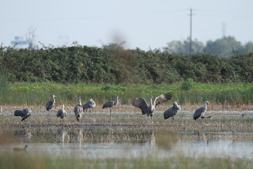Sandhill cranes in nature