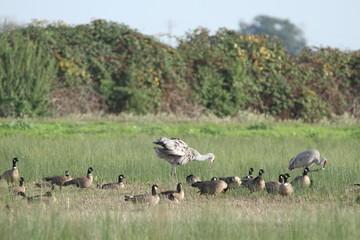 Sandhill cranes in nature