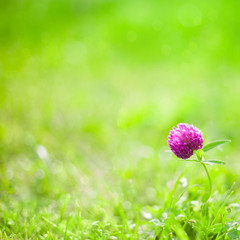 Nature Summer Background with clover Flower