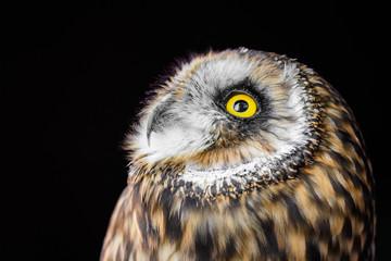 Owl gazing