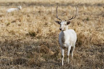 Herd of white fallow deer (Dama dama) in nature