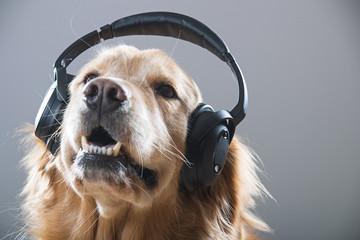 Golden Retriever Dog listening to music through headphones,