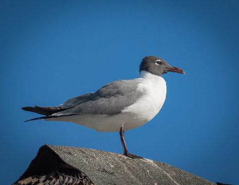 Laughing Gull  - Larus atricilla - Close - Up