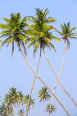 Coconut palm trees is a bizarre shape against the blue sky
