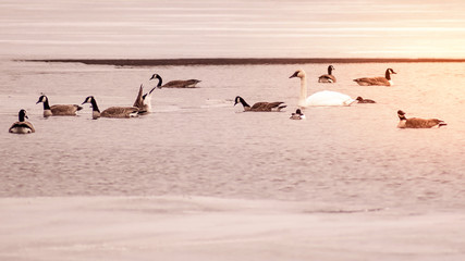 Swans and ducks are swimming in icy lake in early spring at Minnesota
