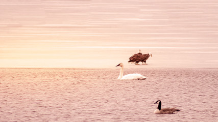 Swans and bald eagles are enjoying the time of early spring at Minnesota