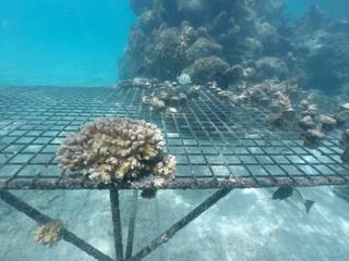Coral rReef restoration in Rarotonga Cook Islands