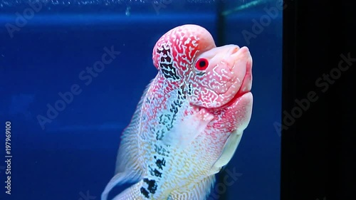 Flowerhorn cichlid pet fish aquarium, colorful red color with black