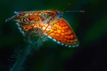 A beautiful butterfly, a blurred background. Clossiana selene in the natural environment. Close-up.