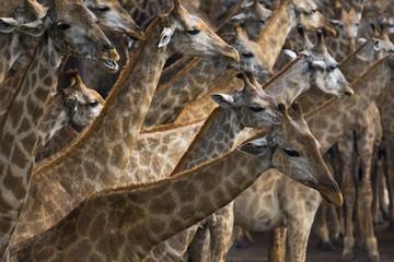 flock of african giraffe on sawanna field
