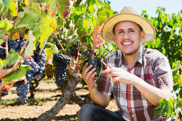 Man working on collecting ripe grapes