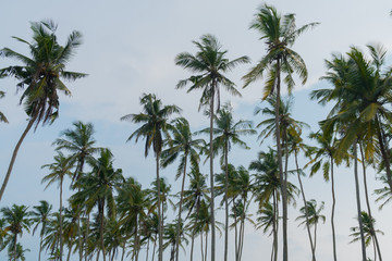High palm trees against the blue sky.