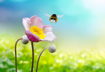 Wall Mural - Beautiful pink anemone flower macro on a summer meadow and a flying bumblebee on a blue sky background with clouds on nature. Idyllic artistic image of a hot summer, copy space.