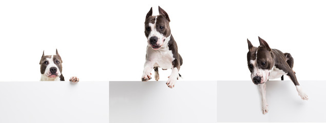 American pit bull terrier jumping over an obstacle in the studio on a white background - isolated collage