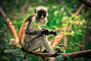 Foto op Plexiglas Zanzibar Colobus Monkey eating Leaves, Tanzania