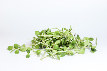 Green sunflower sprout