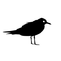Seagull Bird black silhouette isolated on white background. Vector illustration