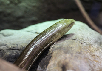 European legless lizard or sheltopusik (Pseudopus apodus)