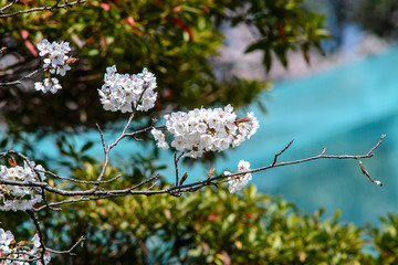 "cherry ""sakura"" blossom in japan"