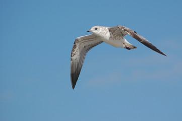 Mewa lecąca na tle niebieskiego nieba. Frunący ptak morski.