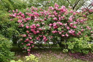Pink Roses Bush Garden