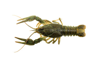 green crayfish on isolated white background