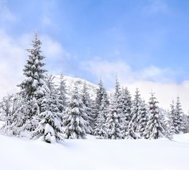 Winter landscape of mountains with of fir forest and glade in snow. Carpathian mountains.