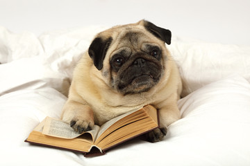 Pug dog reading a book