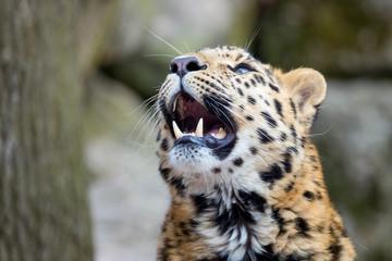 Amur leopard showing his teeth