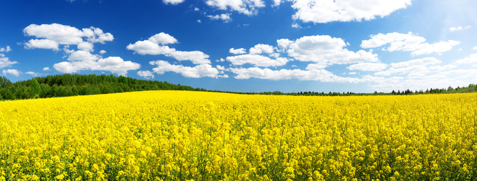 yellow rapeseed field panorama with beautiul sky