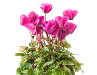 Fototapete - cyclamen plant  with flowers