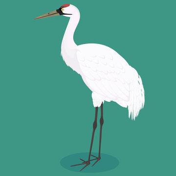 Whooping crane cartoon
