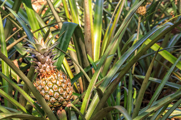 fruits of pineapple on the bushes of the plantation. Closeup