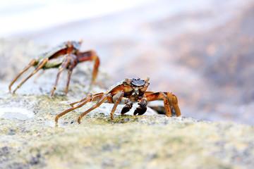 Lightfoot Crabs, Seychelles