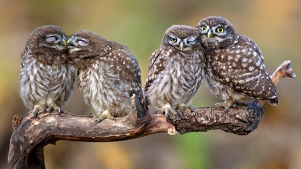 Fototapete - Four little owls (Athene noctua) sitting in pairs on a stick
