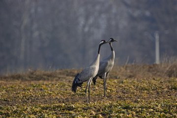 cranes on the field