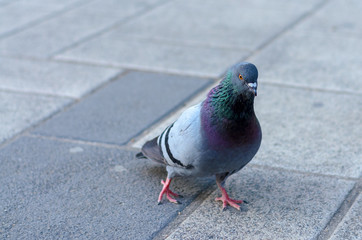Pigeon walking across paving stones