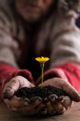 Gardener with dirty hands cupping a dandelion
