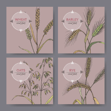 Set of four banenrs with bread wheat, rye, barley and oats color sketch. Cereal plants collection.